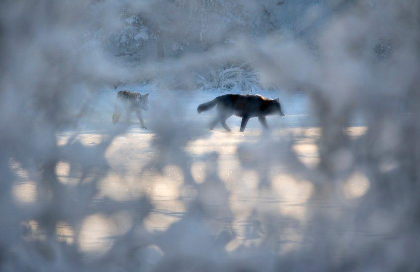 Gondolta volna, hogy a finn kutyákat mellény védi a farkasoktól?