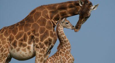A sebezhető fajok kategóriájába került a zsiráf a Vörös listán