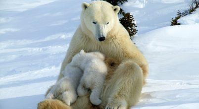 Újabb veszély fenyegeti a jegesmedvéket