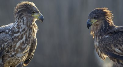 Sasok és más ragadozó madarak számlálása