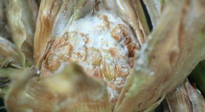A klímaváltozás kedvez a gabonát fertőző gombáknak