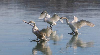 A nap képe: Így landolnak hattyúk a jégen