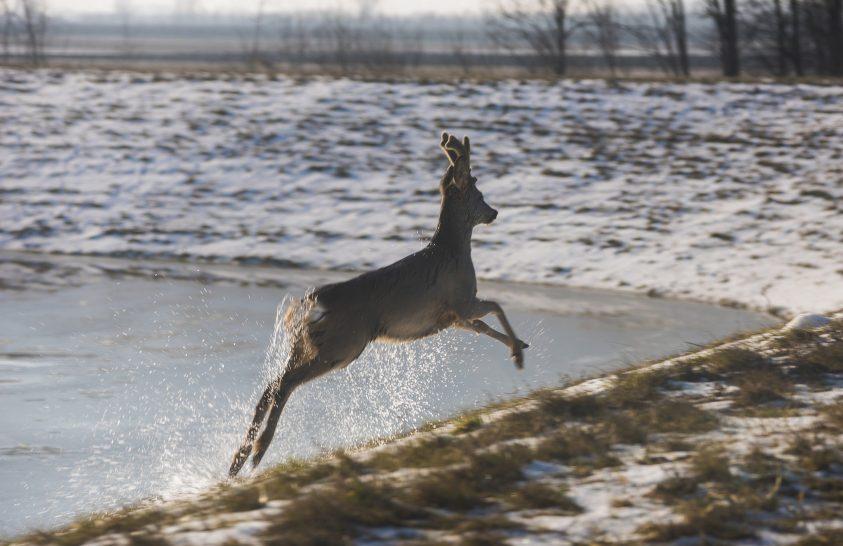 Állatok a jeges Tiszán