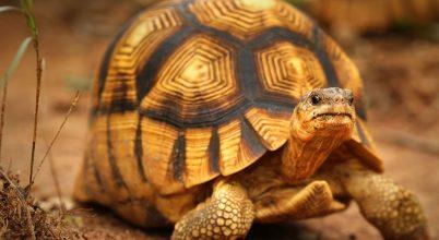 Brit állatkertben kaptak menedéket különleges teknősök
