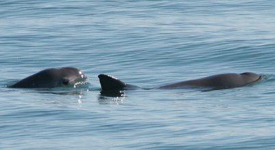 Kihalhat a világ legkisebb tengeri emlőse