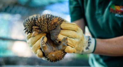 Hangyászsünök egy ausztráliai állatkertben