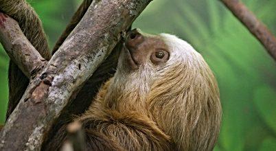 Costa Rica hátizsákos lajhárjai