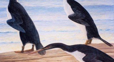 Az ősi pingvinek jóval nagyobbak voltak a maiaknál
