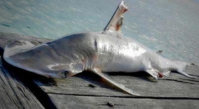 A Belize környéki vizek indikátora lehet az új cápafaj