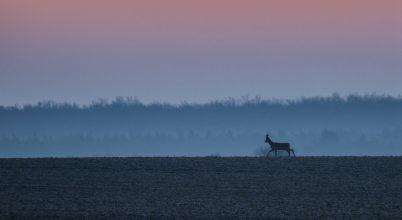 A nap képe: A magányos őzbak