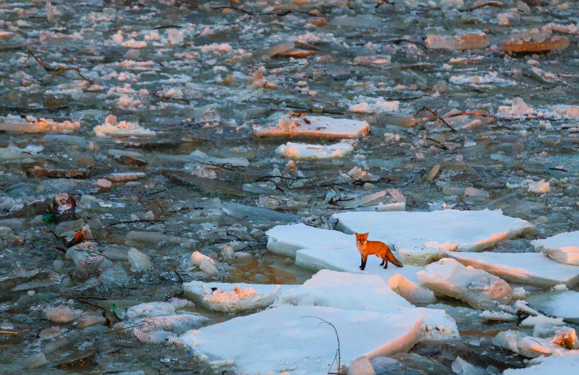 A nap képe: Jégtáblán rekedt róka