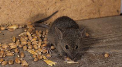 Volt, amikor még békében éltek egerek és emberek
