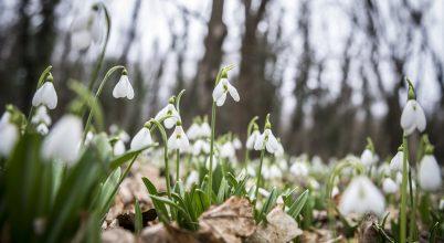 A tavaszi virágünnep nem ér véget a hóvirág elvirágzásával