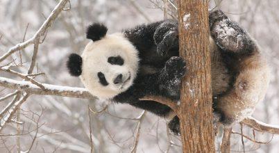 Itt a pandák nyugalma a legfontosabb