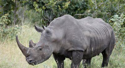 Jó hírek az orrszarvúakról, elefántok vigyázzatok!