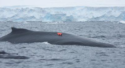 Nem marad tovább titokban a hosszúszárnyú bálnák élete
