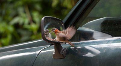 Tükörképükkel akár a végkimerülésig is harcolhatnak a madarak
