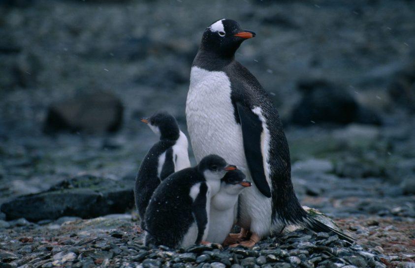 Egy sziget, ahol időnként kihaltak a pingvinek