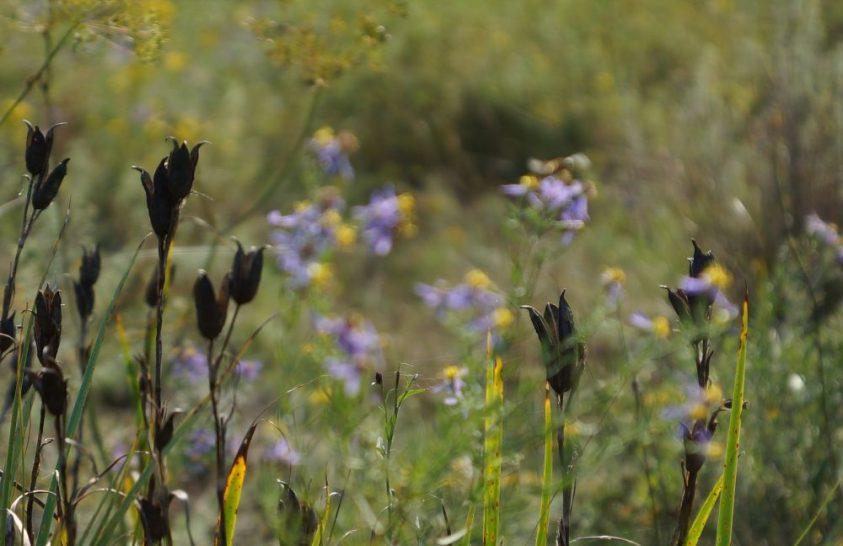 Növényvizslatás egy szikes mezőn
