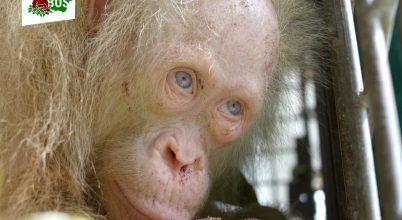 Hamarosan újra szabad lesz egy albínó orangután