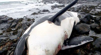 Rekord mennyiségű vegyi anyag egy orka szervezetében