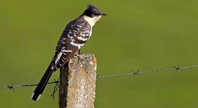 Romániába tévedt egy mediterrán területen élő madár