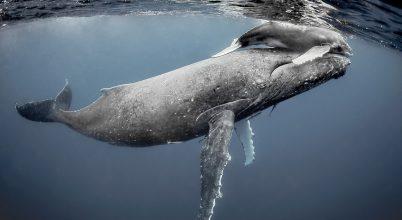 Suttogó mamák és bálnaborjak