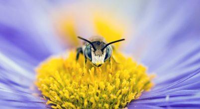 A nap képe: A szorgosan dolgozó méh