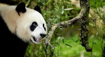 Külföldön született óriáspandák kerültek vissza Kínába