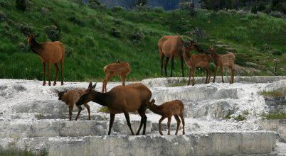 A kanadai szarvasok képesek túljárni a vadászok eszén