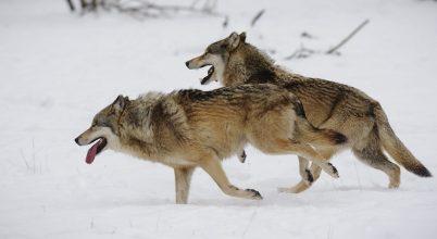 A farkasból is lehet hű barát?