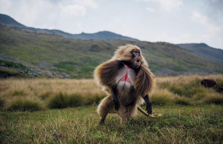 Legelésző majomsereg