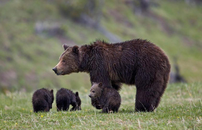 Lekerülnek a grizzlyk a veszélyeztetett listáról Yellowstone-ban