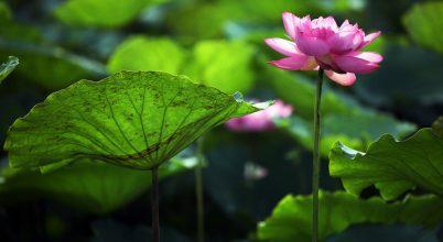 Virágzik a buddhizmus szimbolikus növénye Vietnamban