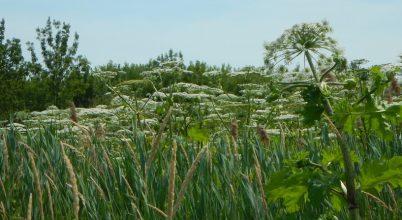 Mérgező invazív növényt irtottak a Kiskunsági Nemzeti Parkban