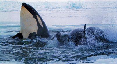 Egyre több orka vetél el a táplálékhiány miatt