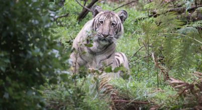 Ez lehet a vadon legvilágosabb bundájú tigrise
