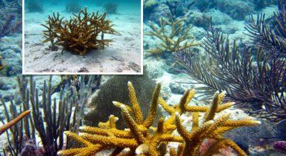 Van remény a korallzátonyok helyreállítására