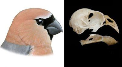 Mire felfedeztük, már rég kipusztítottuk az azori madárfajt