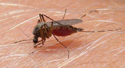 Szúnyogok segíthetik a törvényszéki szakértők munkáját
