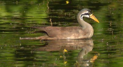 Reménykeltő hírek egy különösen veszélyeztetett madárról