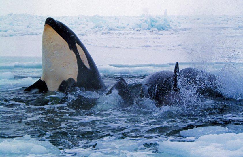 Orka támadott halászokra Alaszka partjainál