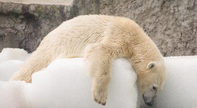 Jégtömbökön hűsölnek a jegesmedvék