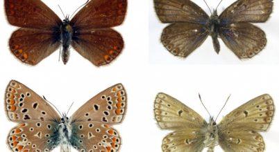 Magyar kutatók kiderítették, hogyan reagálnak a lepkék a stresszre