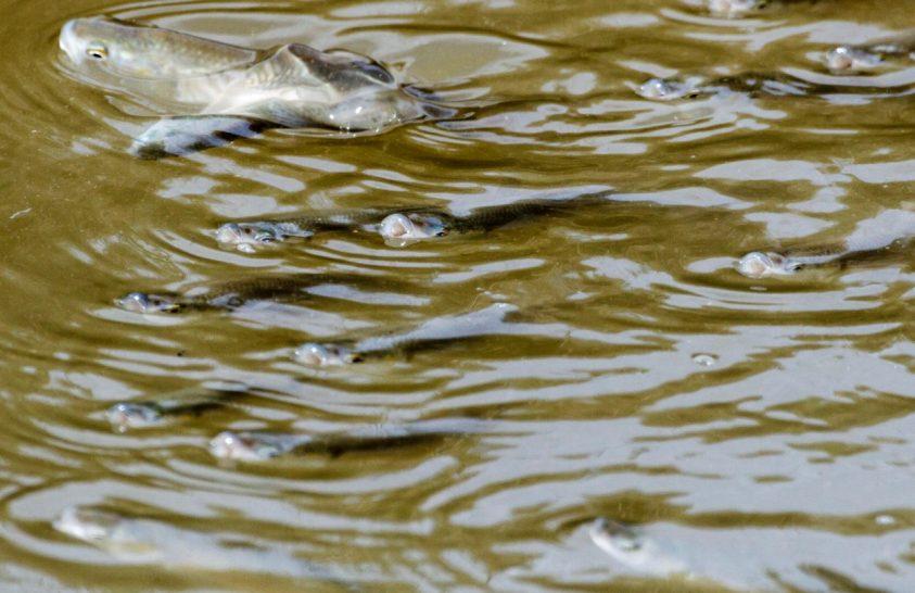 A halak nemi jellegét is megváltoztathatják a vegyi anyagok