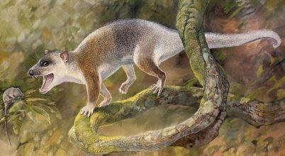 Mintha egy tasmán ördög lenne a 43 millió éves fosszília