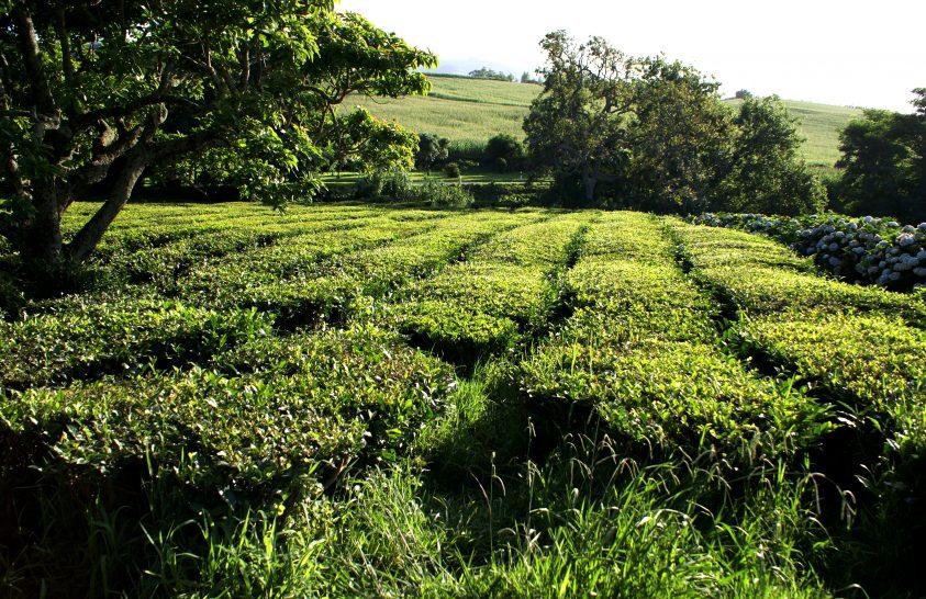 A zöld tea újabb kedvező hatását sikerült kimutatni