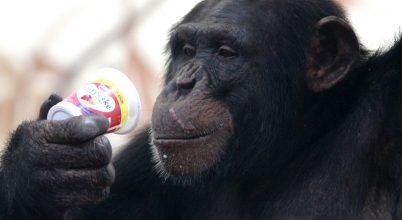 Már a csimpánzok is tudnak kő-papír-ollózni
