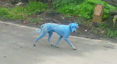 Kék színű kutyák jelentek meg Indiában