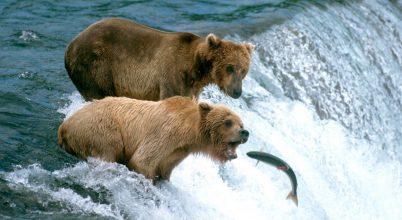 Vegetáriánussá válnak a Kodiak-medvék